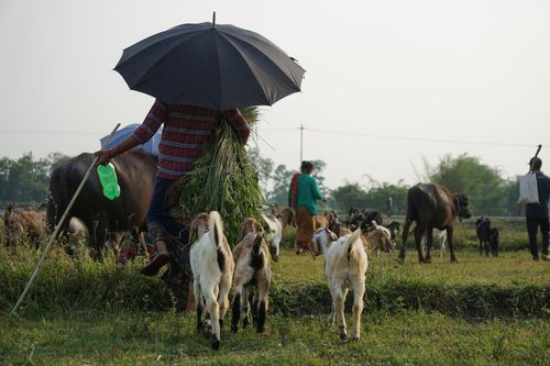 local,villagers,heading,home,thrir,cattles