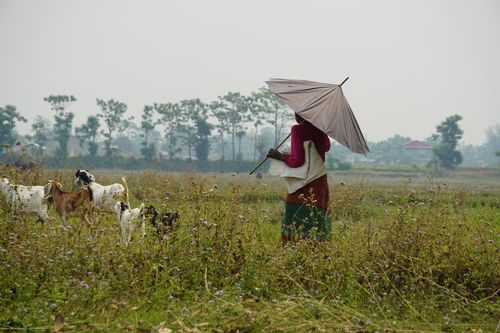 local,woman,taking,care,goats