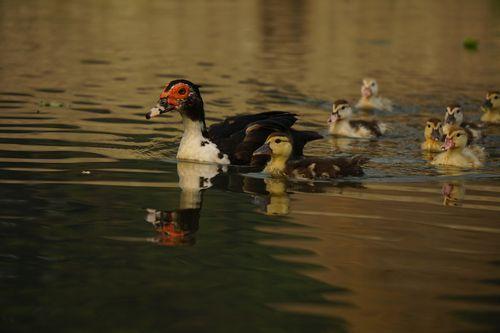 mallard,duck,swimming,water,food