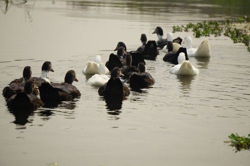 row,mallard,duck,swimming,water