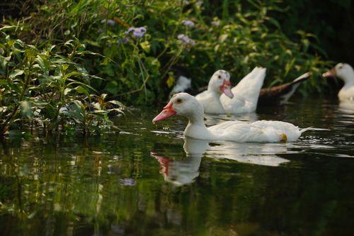 mallard,duck,food,swimming,pond