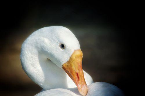 swan,showing,beauty