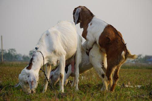 goats,enjoying,mating,time