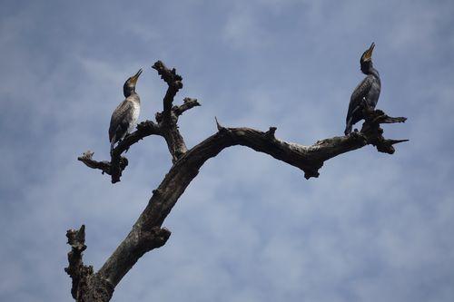 cormorants,chitwan,national,park