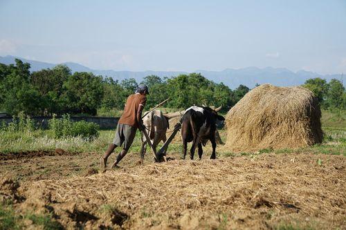 nepali,farmer,ploughing,field