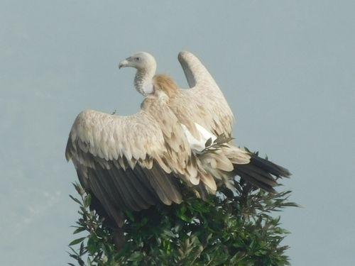 white,rumped,vulture,manma,bazar,kalikot