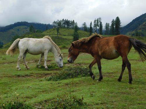 pair,horse,grazing,chahere,kharka,danphe,lekh,jumla