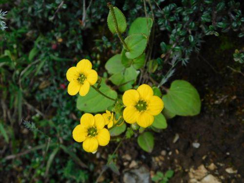 beautiful,flower,clicked,jumla,rara,trek
