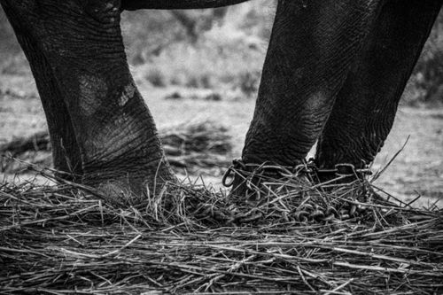 chained,legs,elephant