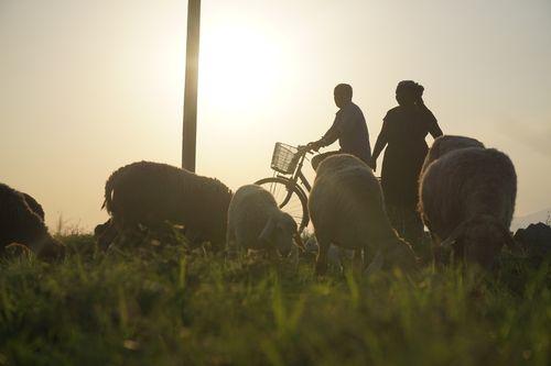 local,farmer,taking,care,sheep
