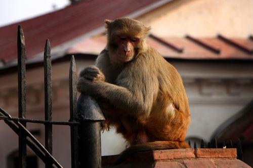 stock,image,#monkey#,monkey,animal#,sad,pose#,pashupatinath,temple#,kathmandu,nepal,photography,sita,maya,shrestha
