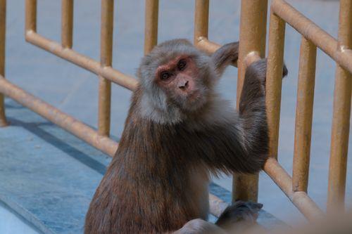 monkey,swayambhunath,holding,fence,world,peace,pond