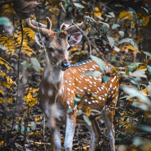 photo,sauraha,chitwan,national,park,deer,posing