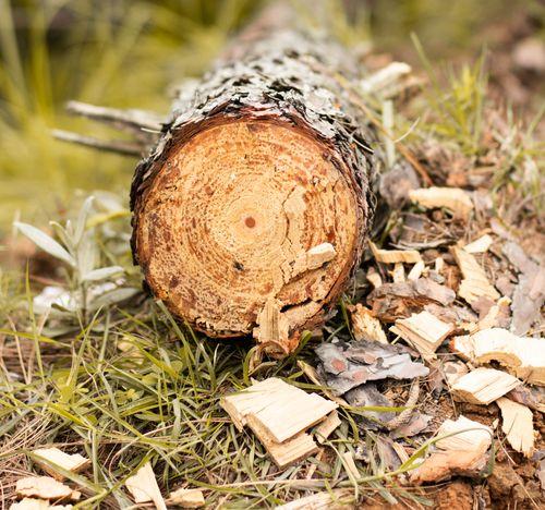 chopped,trunk,tree