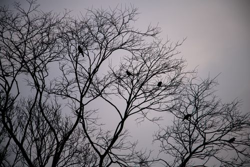 crows,barren,tree