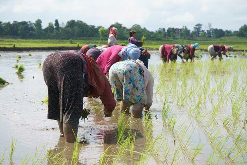 nepali,women,planting,paddy,chitwan,nepal