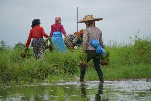 nepali,women,working,farmland,chitwan,nepal