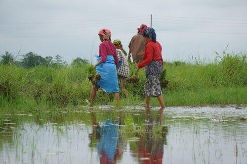 nepali,women,workjng,farmland,chitwan,nepal