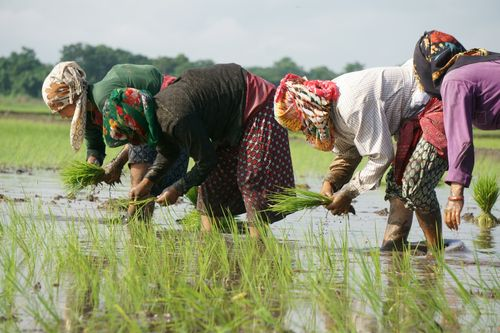 nepali,women,covering,faces,scarfs,due,covid-19,fear,planting,corps,chitwan,nepal