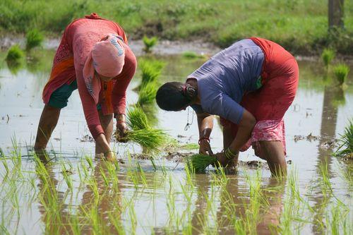 nepalese,women,planting,corps,chitwan,nepal
