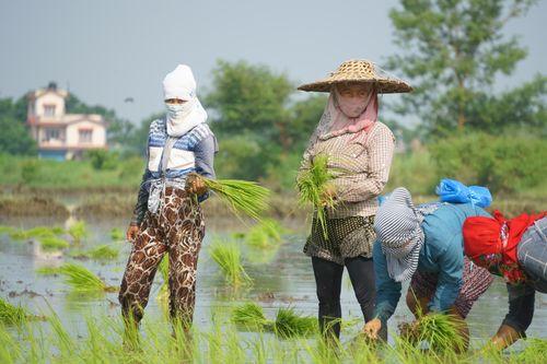 nepalese,women,working,farmland,chitwan,nepal