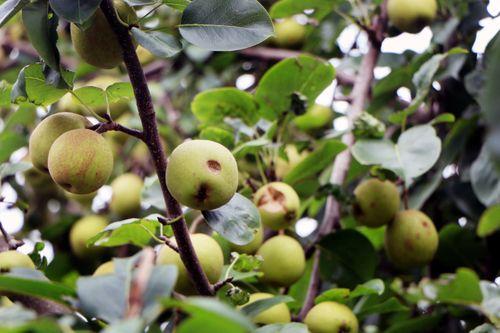 pear,nashpati,fruit,images#,stock,image#,nepal,_photography,sita,maya,shrestha