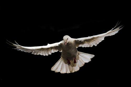 mid,air,flight,photo,white,dove,symbol,peace