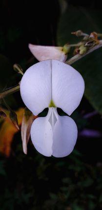picture,white,flower,called,clitoria,ternatea
