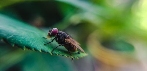 picture,common,housefly,sitting,leaf