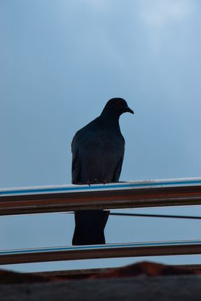 pigeon,sitting,railing