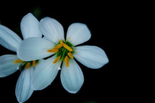 white,flower,|stock,image#,nepal,photography,sita,maya,shrestha