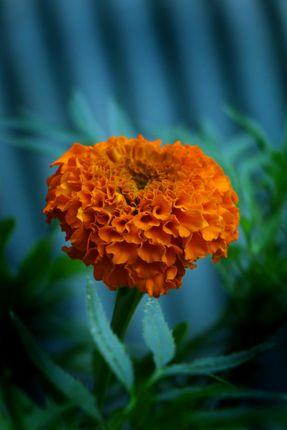 marigold,flower,photography#stock,image,#nepalphotography,sita,maya,shrestha