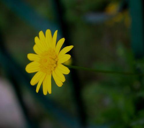 yellow,flower,nepal