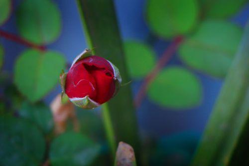 red,rose,bud,stock,image#nepal_photography,sita,maya,shrestha