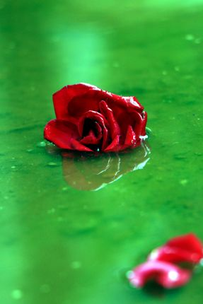 red,rose,stockimage#,nepal,photography,sita,maya,shrestha