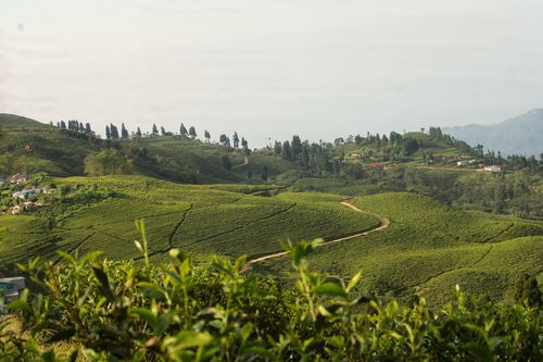 eastern,nepal,ilam,largest,green,tea,garden,beautiful,landscape,view