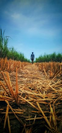 boy,walks,recently,harvested,rice,field,reach,safeguard,nearby,sugarcane,grazing,animals,photo,heart,rural,bihar,india
