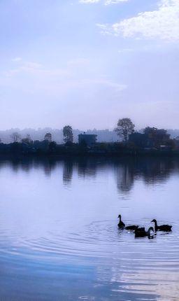ducks,swimming,taudaha,evening,reflection,trees,houses