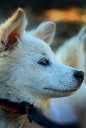 small,white,dog,stock,image,nepal,photography,sita,maya,shrestha