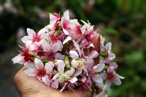 payorflower#,pink,white#,holding,flower#,stock,image,nepal,photography,sita,maya,shrestha