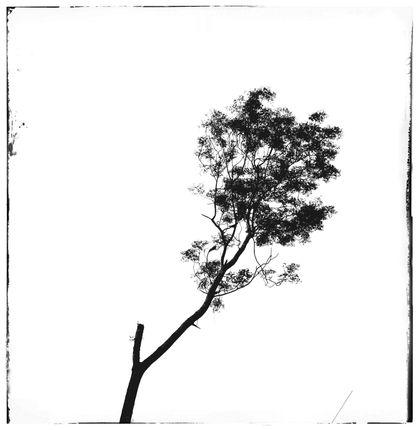 titled,image,imprints,monochromatic,tree