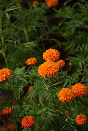 marigold,flower#stock,image,#nepalphotographybysitamayashrestha