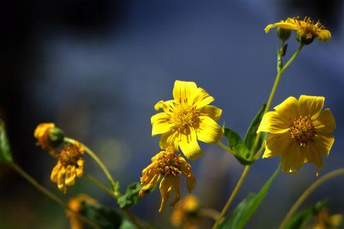 yellow,flower#stock,image,nepal,photographyby,sita,maya,shrestha