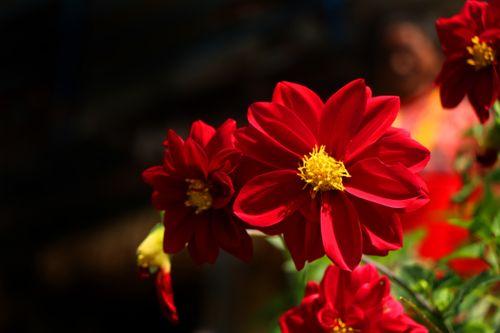 dahlia,flower#stock,image,nepal,photographyby,sita,maya,shrestha