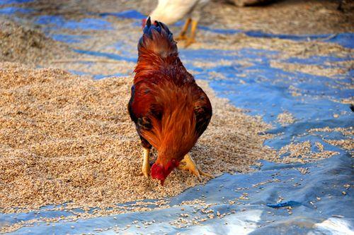 hen#stock,image,#nepalphotographybysitamayashrestha