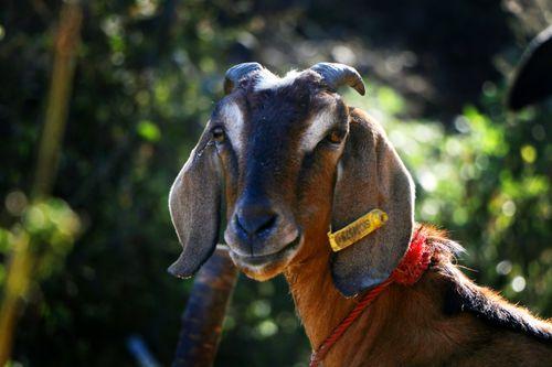 goat#stock,image,#nepalphotographybysitamayashrestha