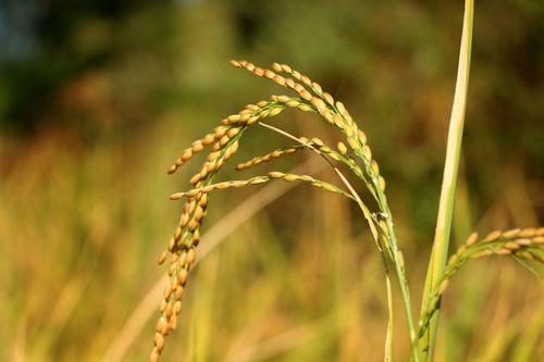 rice,plant,field,sindhupalchok,bigal#stockimage,#nepalphotographybysitamayashrestha