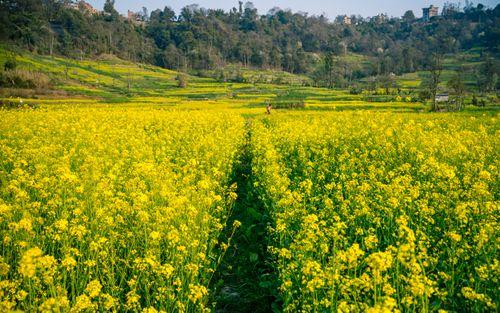 beautiful,landscape,view,mustard,farmland,lalitpur,nepal