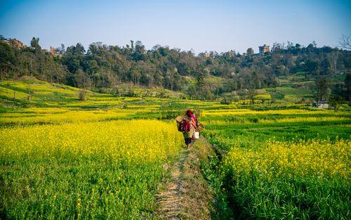 blossom,mustard,farmland,lalitpur,nepal