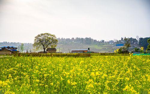beautiful,landscape,view,spring,season,mustard,farm,lalitpur,nepal